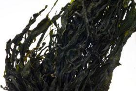Alga wakame in foglie